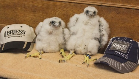 "Meet the Newest Members of the Briess Peregrine Falcon Family:  ""Monica"" & ""Bernadette"""