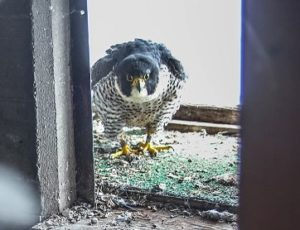Monther Peregrine Falcon pears into nest box.